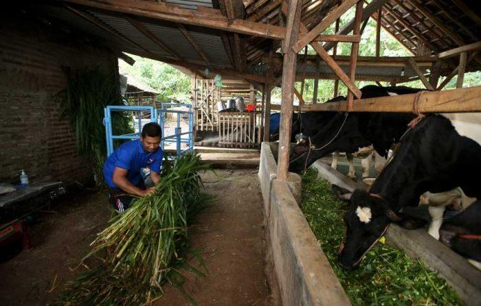 Ilustrasi peternak memberi makan sapi perah