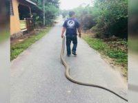 """Aksi Hamdan """"si raja ular"""" menangkap ular raksasa dengan satu tangan. (World of Buzz)."""