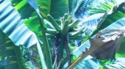 Pohon pisang asli Pulau Kapotar, Kabupaten Nabire, Papua. (Foto Hari Suroto)
