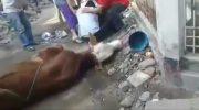 Panitia Kurban Meninggal saat Hendak Menyembelih Hewan