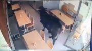 Viral Video Sapi Kurban Masuk Kafe