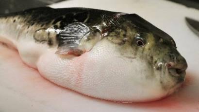 Usai Makan Ikan Buntal, Satu Keluarga Tewas Keracunan